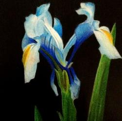 Blue Iris Flower Drawing in coloured pencil by Diana Moore - New Zealand Artist
