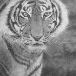 Tiger in Pencil by Diana Moore - New Zealand Artist