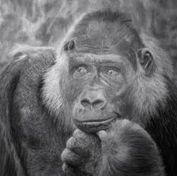 Gorilla Drawing by Diana Moore - New Zealand Artist