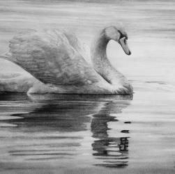 Swan Drawing in Pencil by Diana Moore - New Zealand Artist
