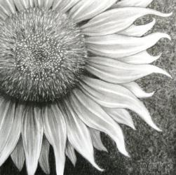 Sunflower in Pencil by Diana Moore - New Zealand Artist